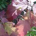 柏葉紫陽花の葉